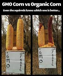 squirrels avoiding gmo corn picture
