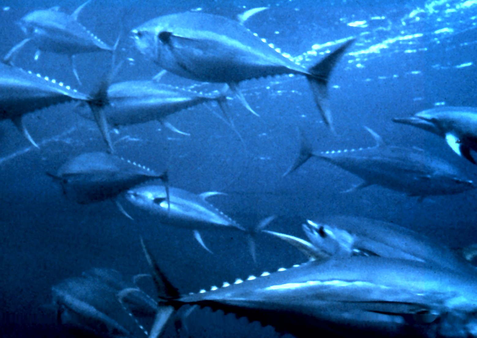 Yellowfin Tuna pod swimming